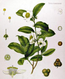 Tea plant (Camellia sinensis) from Köhler's Medicinal Plants, 1897